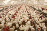 تنها کشتارگاه مرغ ایلام تعطیل شد/ عدم حمایت ۸۸ کارگر کشتارگاه مرغ مانشت را خانه نشین کرد