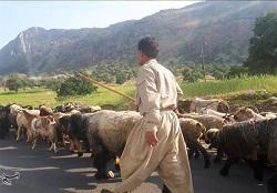 ۲ هزار خانوار عشایری در مناطق قشلاقی ایلام مستقر می شوند