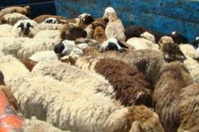 قربانی ۱۳۰ راس گوسفند و توزیع بین نیازمندان ایلام