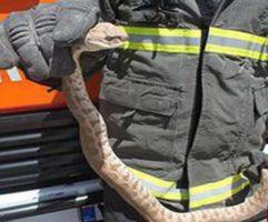 مدیرعامل سازمان آتش نشانی ایلام خبر داد :۲۲ مورد زنده گیری مار در شهر ایلام انجام شد